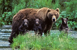 Number 22 pauses with her 3 cubs of the year for a family portrait.
