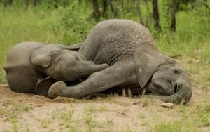 Drunken baby elephants in the Kruger