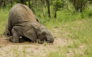 Drunken baby elephants in the Kruger2