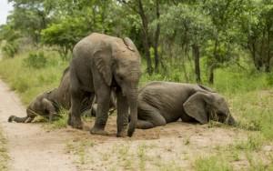Drunken baby elephants in the Kruger3