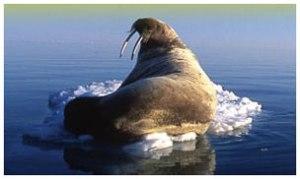 Nunavut walrus