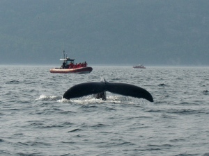 Whale-watching at Tadoussac