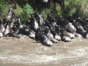 Wildebeest crossing in April